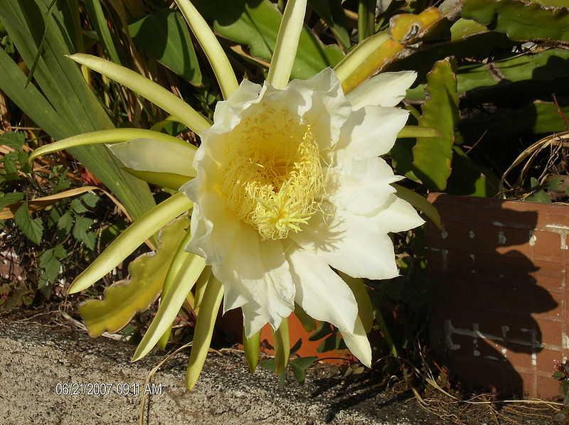 Le pitaya et son fruit du dragon - Arbre fruit du dragon ...