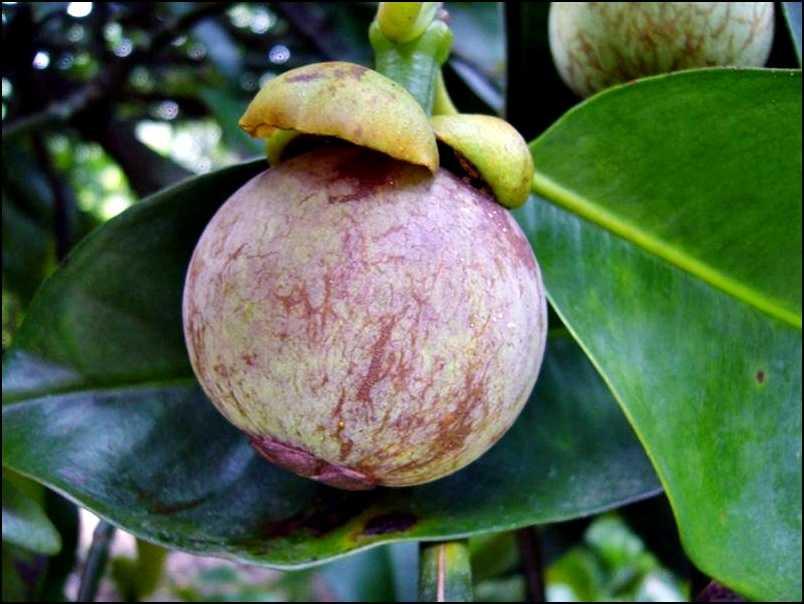 le mangoustanier et son fruit le mangoustan. Black Bedroom Furniture Sets. Home Design Ideas