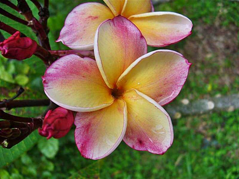 Fleurs de Plumeria jaune / rose