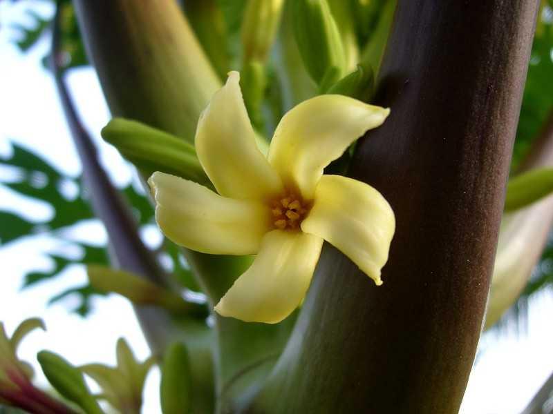 Le Papayer et son fruit la papaye, utilisation et propriété ...